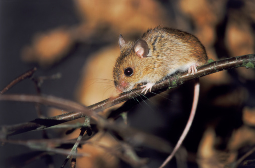 Missouri Mouse with Hantavirus