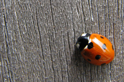 ladybug-pest-control-service