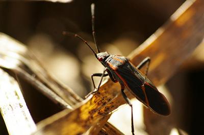 box-elder-bugs