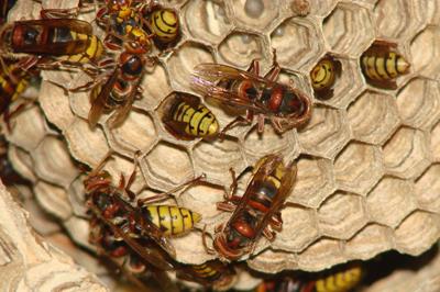 hornet-infestation-pest-control