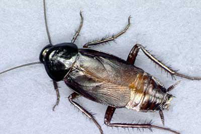 missouri-pests-oriental-cockroaches