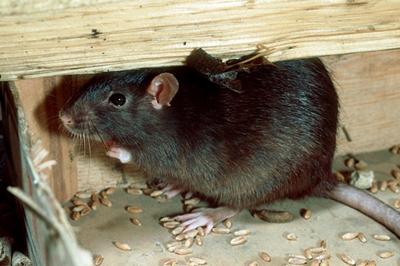 pests-rats